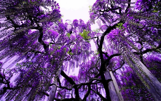 trees wallpapers purple