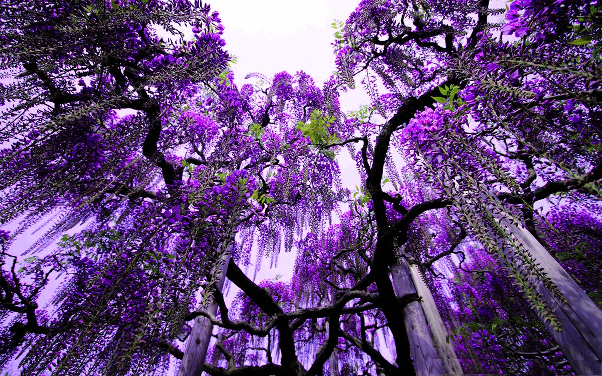 trees wallpapers purple