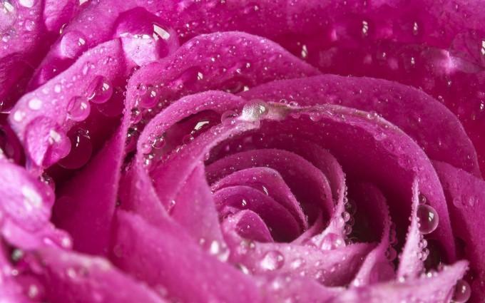 water wallpaper pink rose