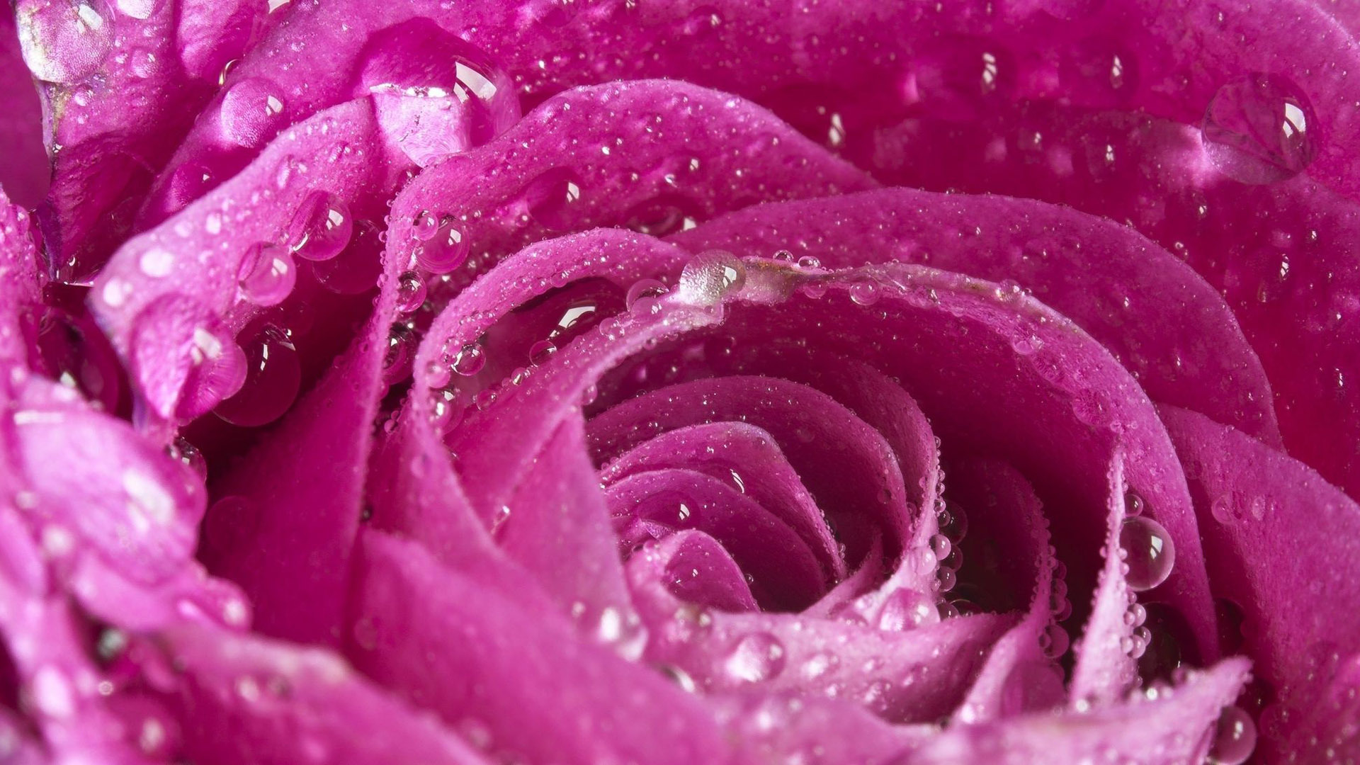 water wallpaper pink rose