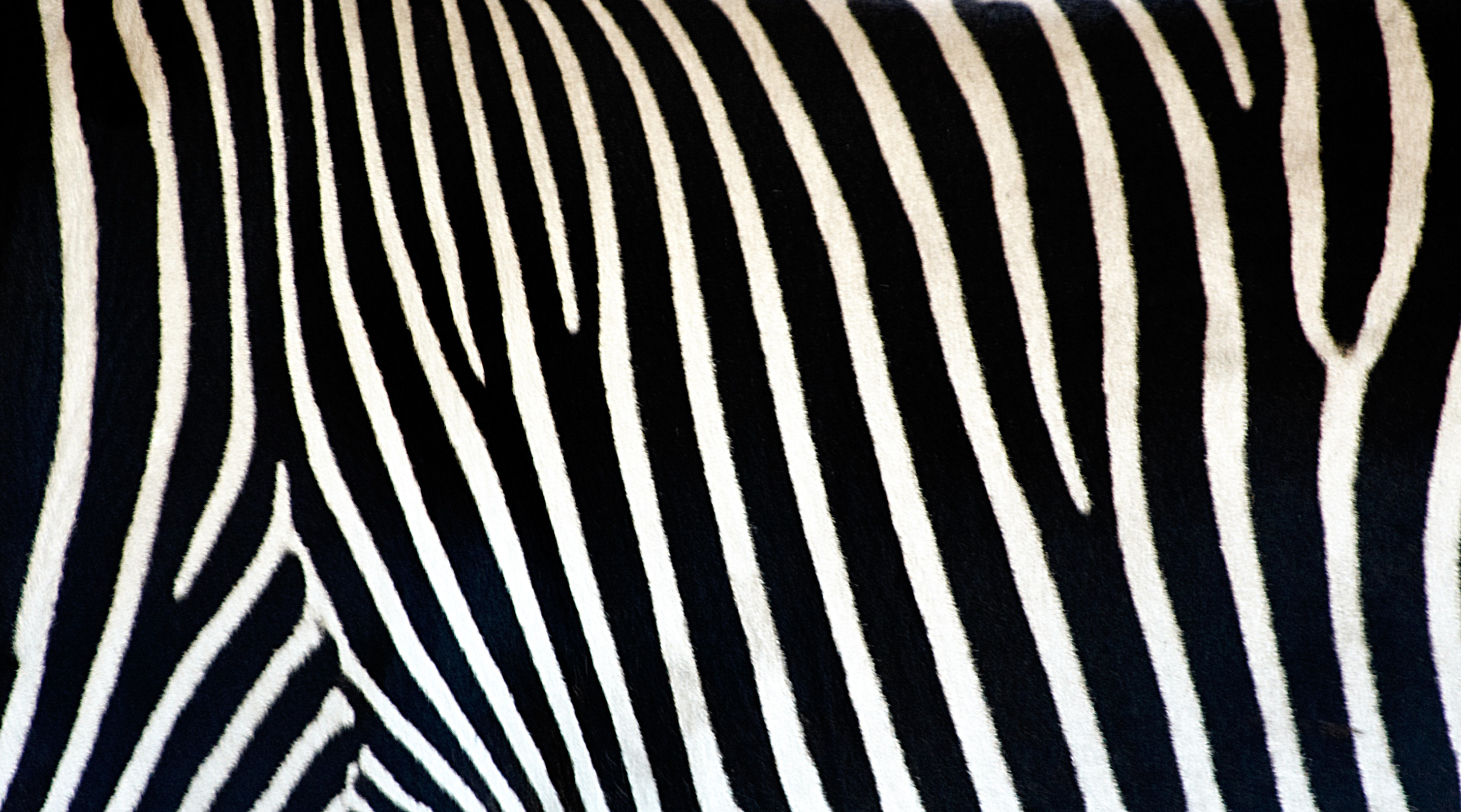 zebra stripe wallpaper stuff - photo #33