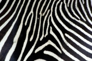 real photo e of a zebra's skin