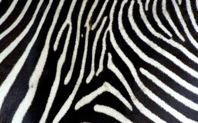 real photo e of a zebra's skin