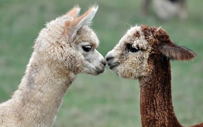 alpacas love wallpaper