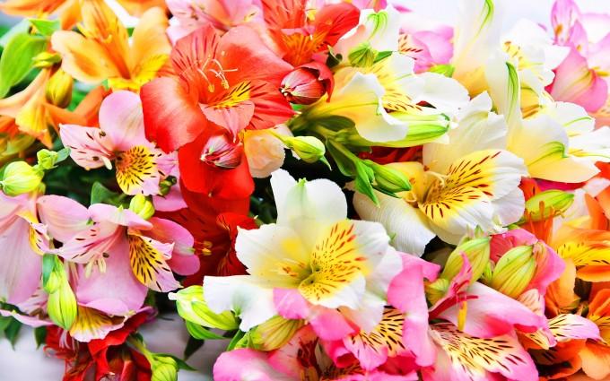 alstroemeria lilies flower