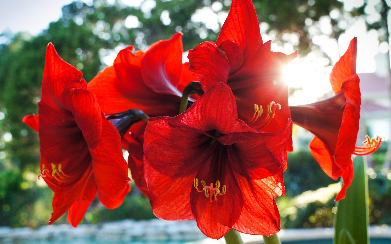 amarylis flowers