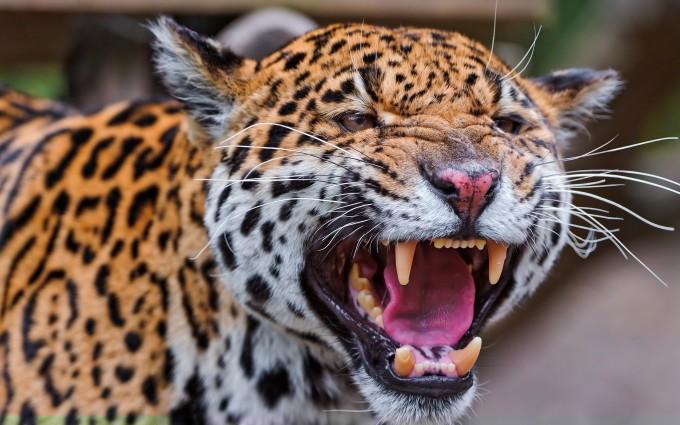 angry leopard desktop backgrounds