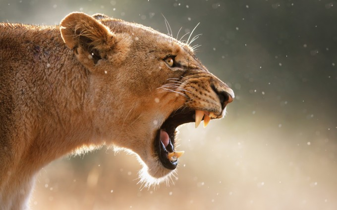 anrgy lioness