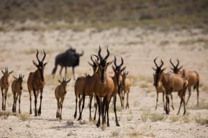 antelopes wildlife