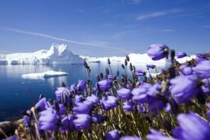 arctic crocuses