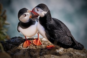atlantic puffin love