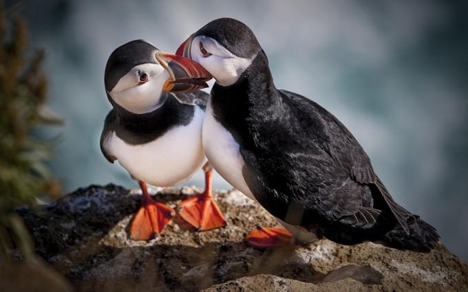 atlantic puffin love