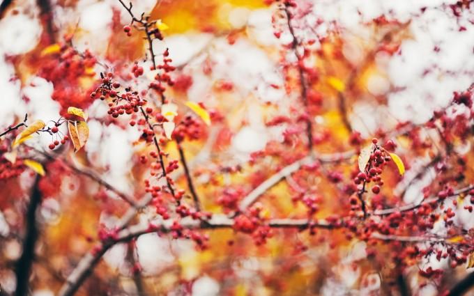 autumn berries wallpaper