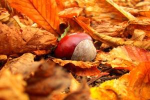 autumn chestnuts pictures