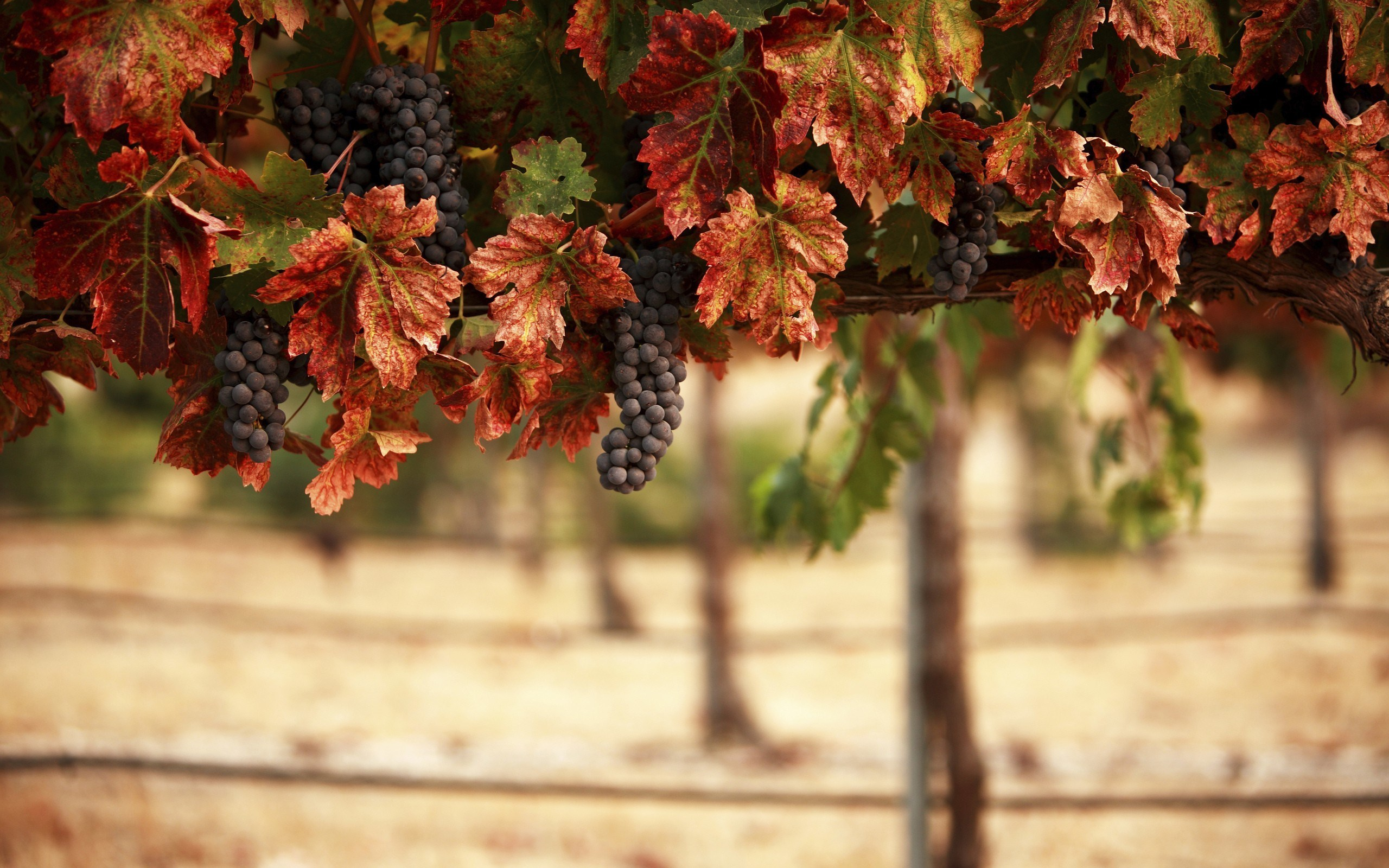 autumn grapes farm