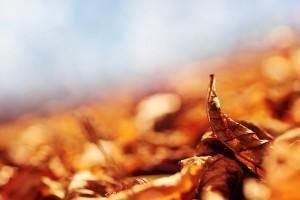 autumn leaf brown