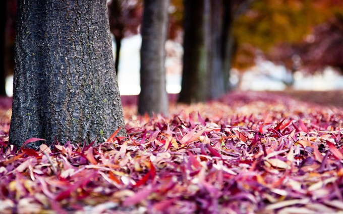 autumn leaves purple pink