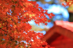 autumn maple hd