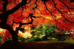autumn maple tree hd