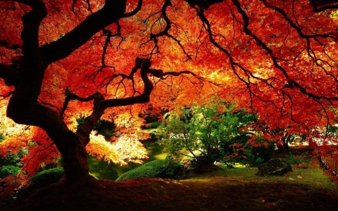 autumn maple tree hd