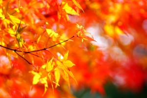 autumn tree foliage maple