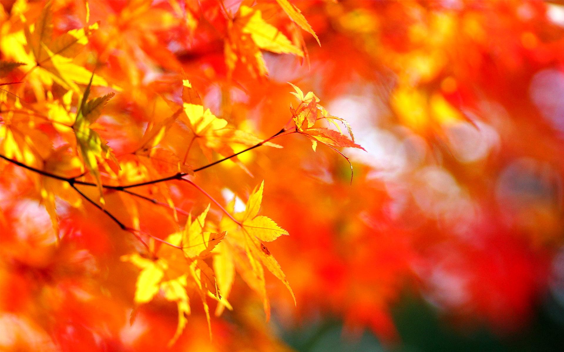 autumn tree foliage maple