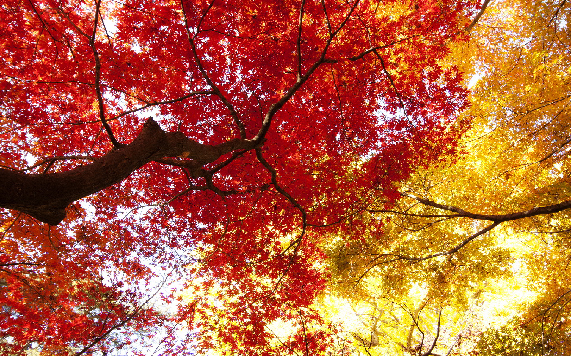 autumn trees red hd
