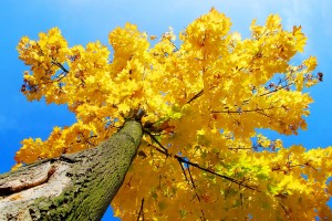 autumn yellow tree