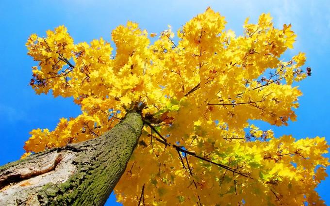 autumn yellow tree