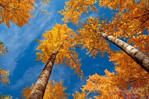 autumn yellow trees hd
