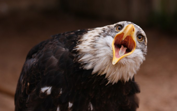 bald eagle cute wallpaper