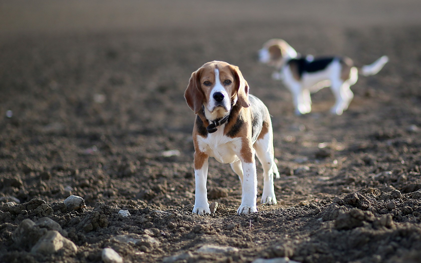 beagles dogs