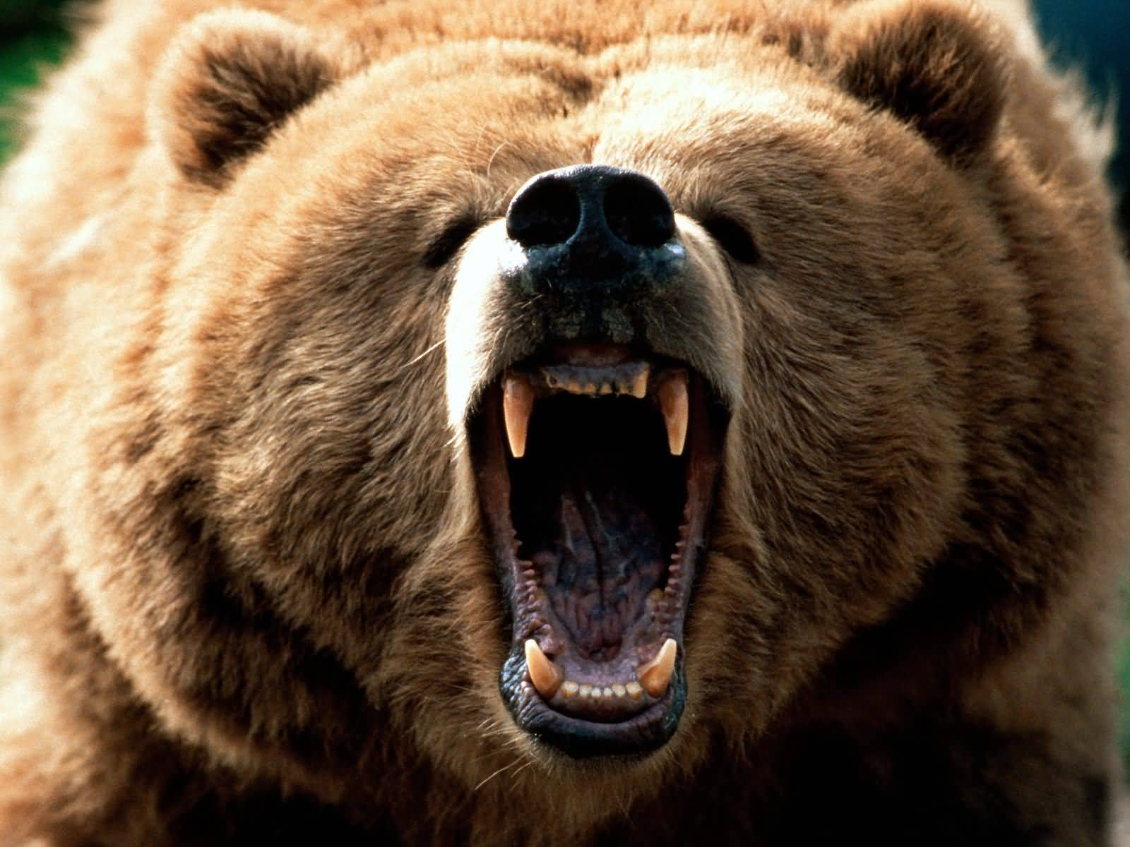 bear scary wallpaper