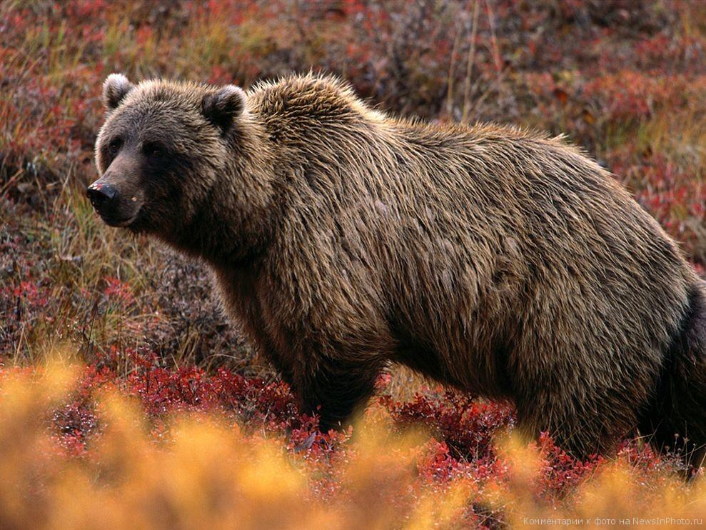 Медведь Гризли  Неудачный пример. Самцы Гризли плохие отцы. Они не участвуют в воспитании своих отпрысков, что было бы простительно, если бы не еще одна черта: медведь убьет любого медвежонка из стаи, если заподозрит, что тот не его. Теорий предостаточно, но ученые не могут с уверенностью объяснить причины детоубийства.