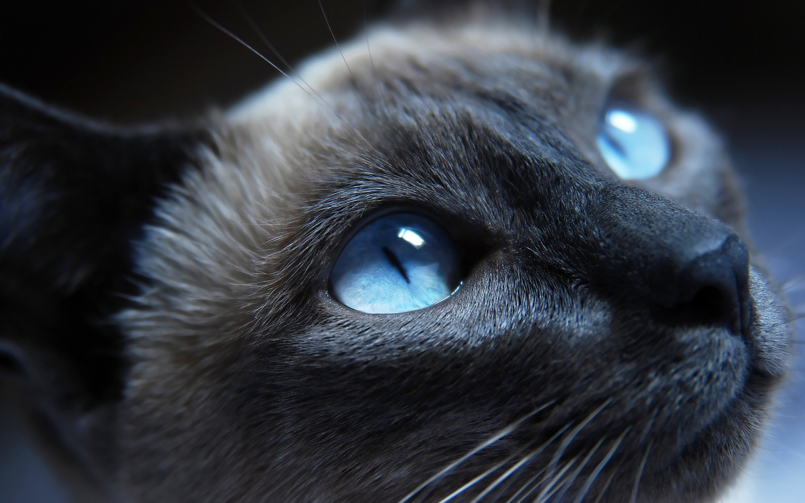 beautiful light blue eyed cat