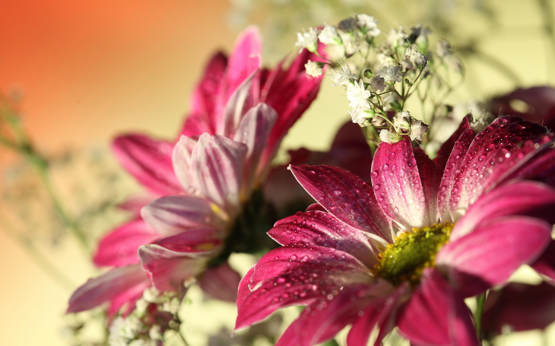 beautiful pink gerbera