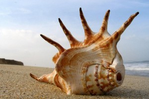 beautiful sea shell wallpaper