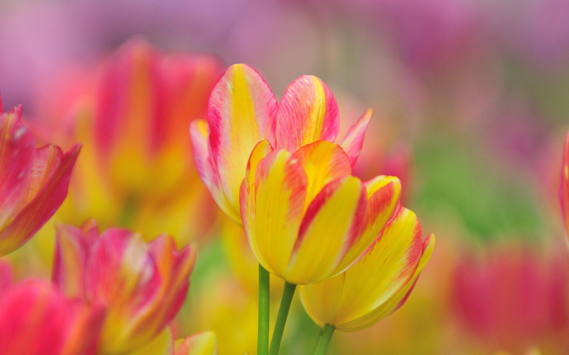beautiful tulip flower yellow