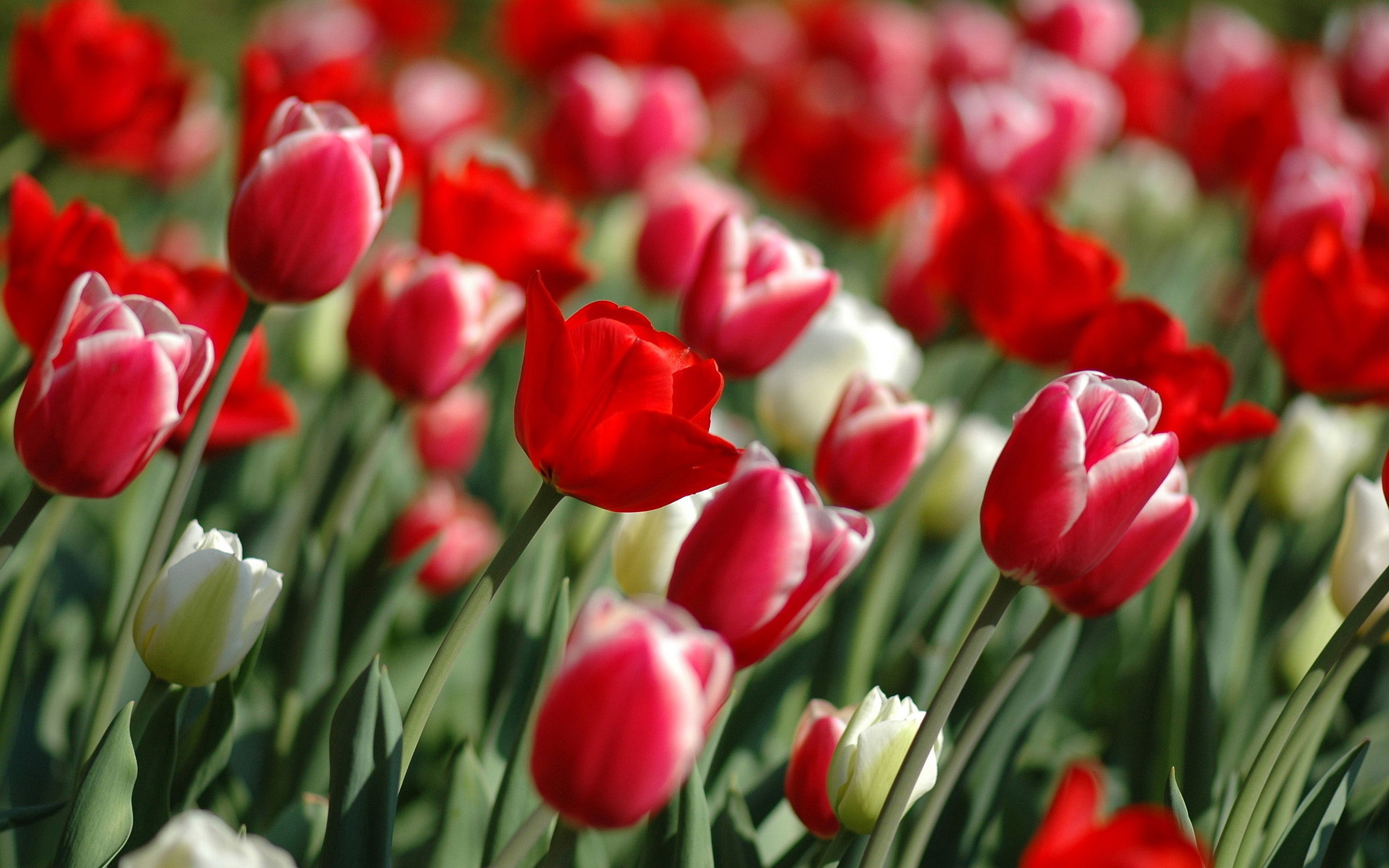 beautiful tulip garden wallpaper