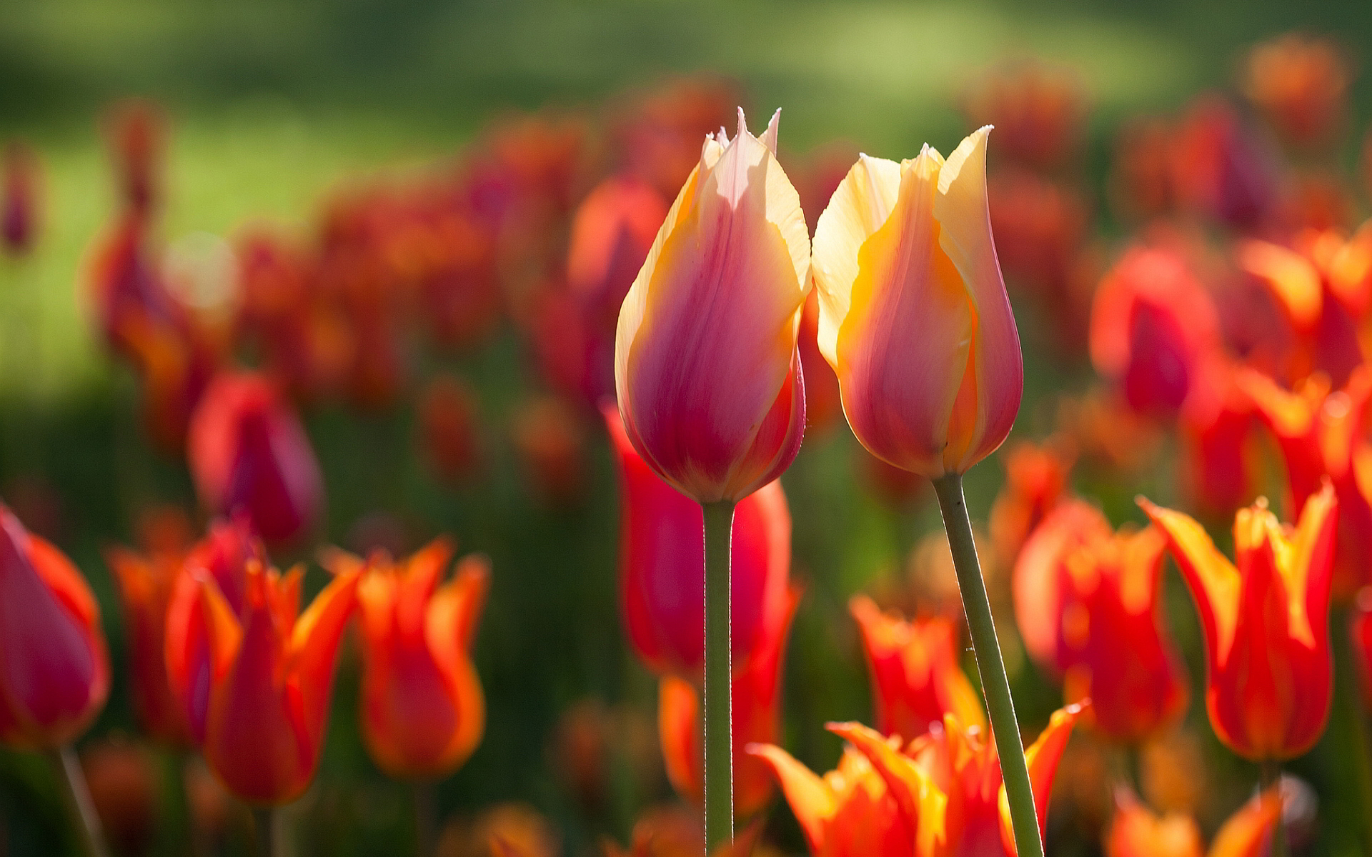 beautiful tulips wallpapers