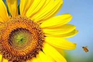 bee sunflower hd