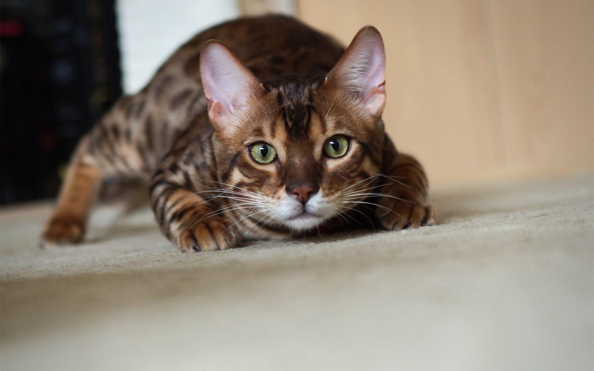 bengal cat india