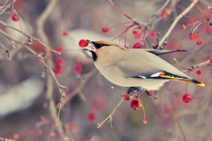 bird eating berries