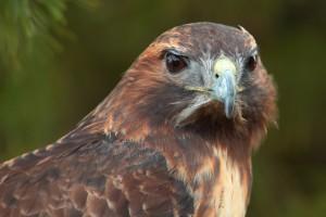 bird eyes hawk