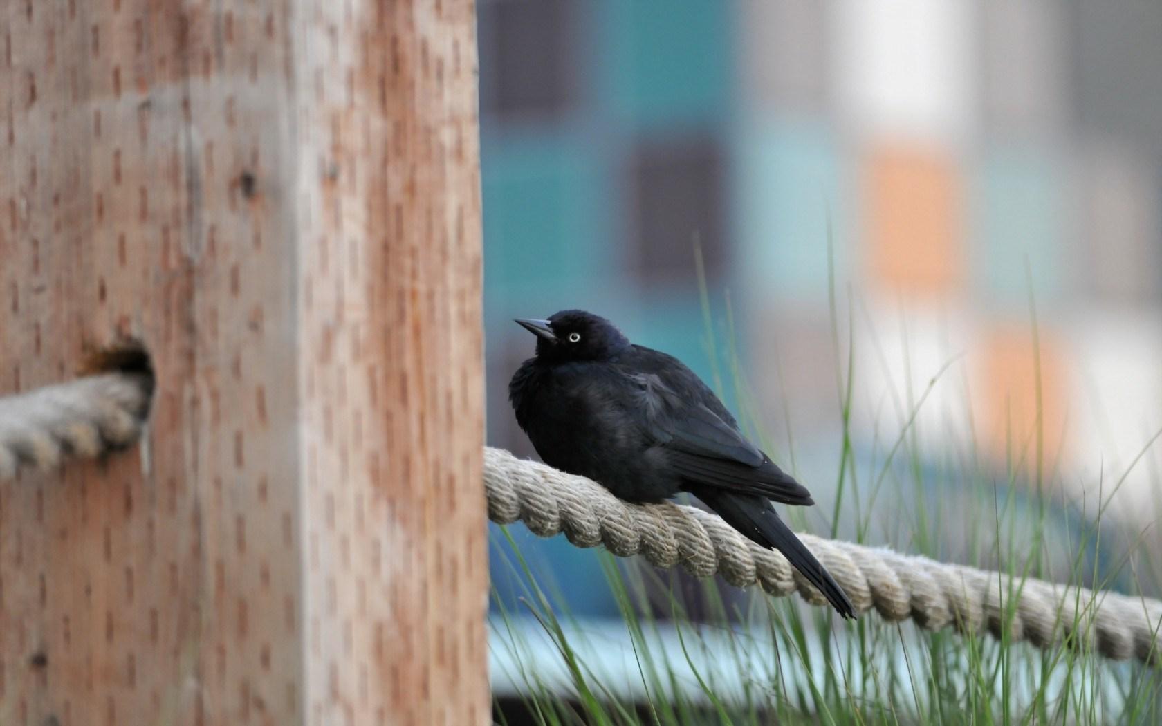 black bird wild