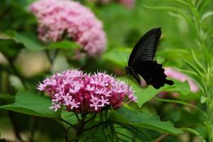 black butterfly hd