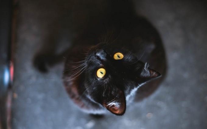 black cat hd images