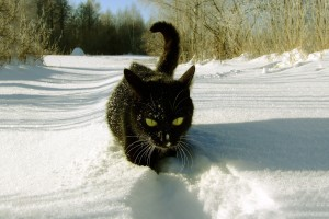 black cat winter snow