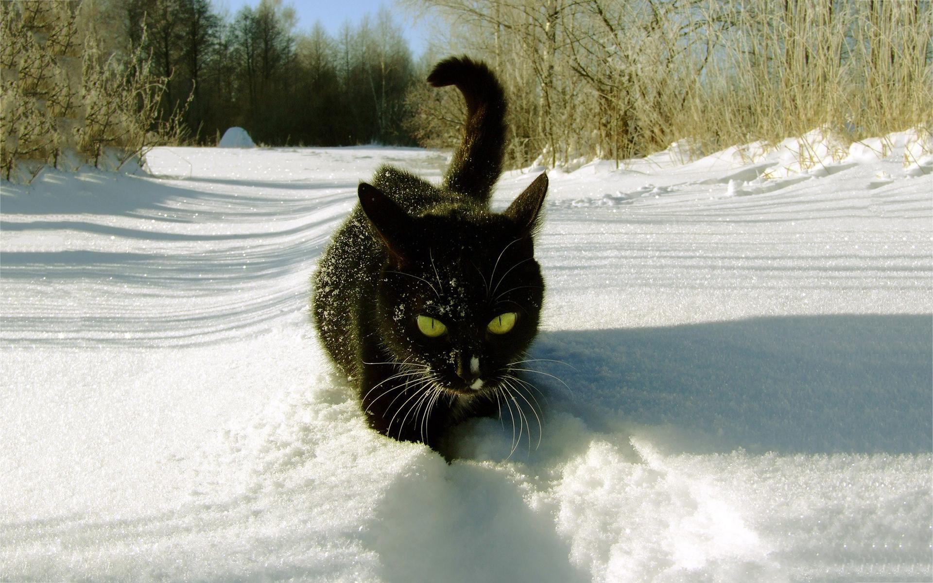 black cat winter snow