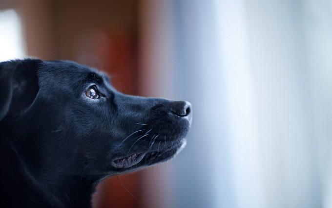 black dog cool